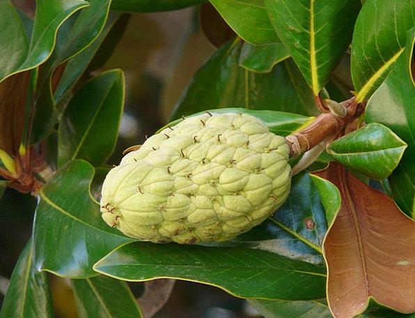 Rubber Tree Drink Food Fig Tree Ficus Elastica Foo