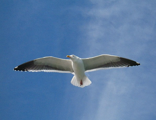 Gull Flying Hovering Seagull Soaring Rising Sky Bl