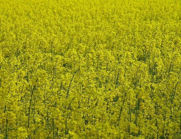 Oilseed Rape Creamy Fields Arenas Yellow Field Are