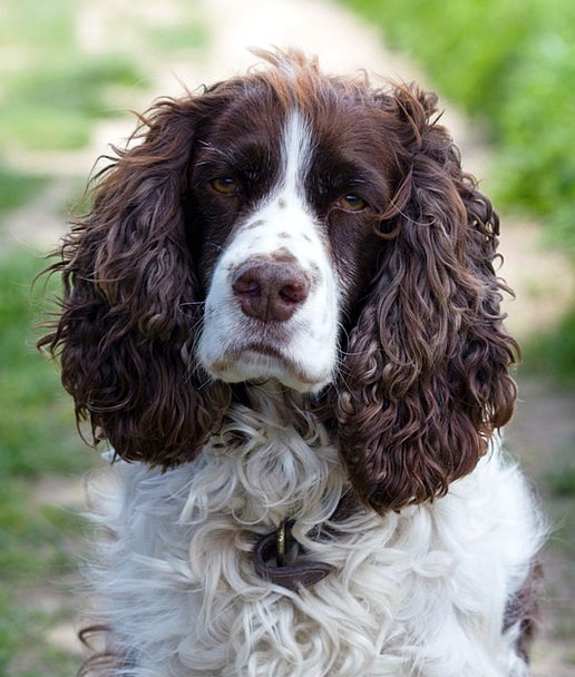 Dog Canine Springer English Face Spaniel Close-Up