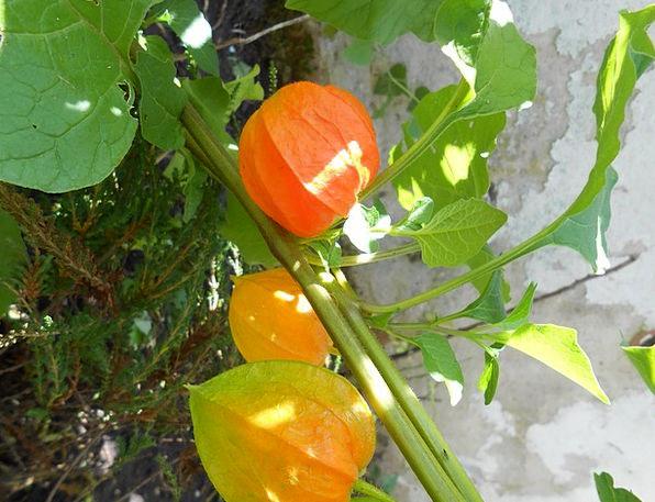 Lampionblume Landscapes Floret Nature Ornamental P