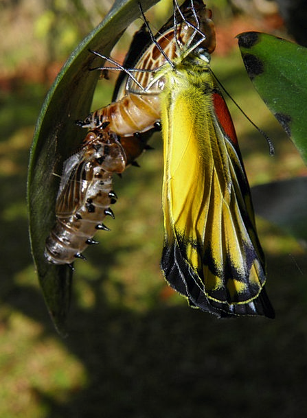 Butterfly Cocoon Garden Plot Chrysalis Thailand