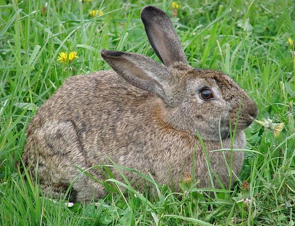 Rabbit Bunny Animals Faunae Hare Grass Lawn Dandel