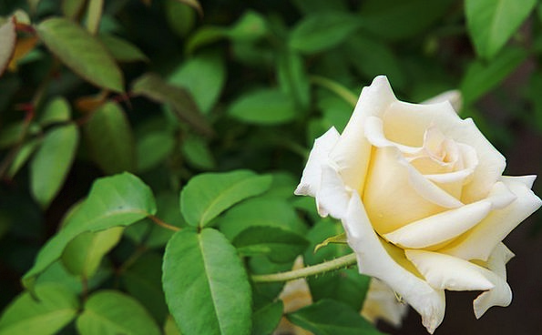 Rosa Snowy Thorn Prickle White