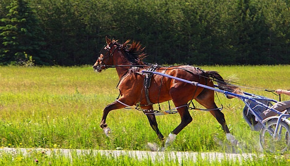 Animal Physical Mount Standardbred Horse Sports Br