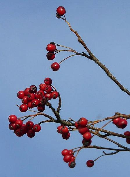 Berries Ovaries Red Bloodshot Fruits Tree Sapling