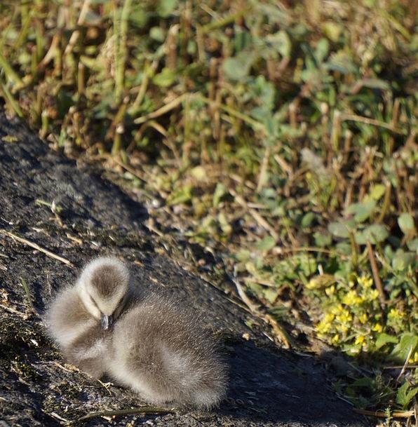 Chick Chicken Snuggling Gosling Nestling Barnacle