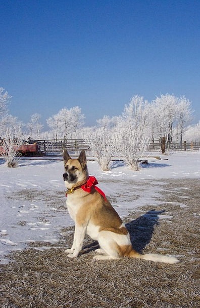 Dog Canine Shepard Akita Red Bloodshot Snow Bow Ch