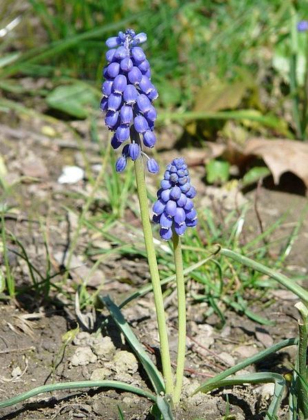 Armenian Traubenhyazinthe Floret Blue Azure Flower
