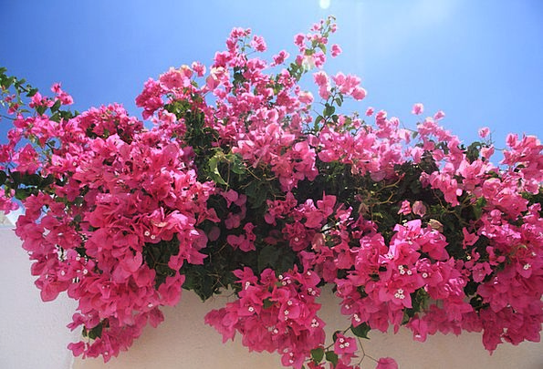 Flowers Plants Pink Flushed Bougainvillea Blossom