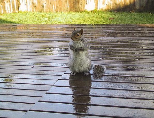 Squirrel Collector Level Cute Attractive Deck Mamm