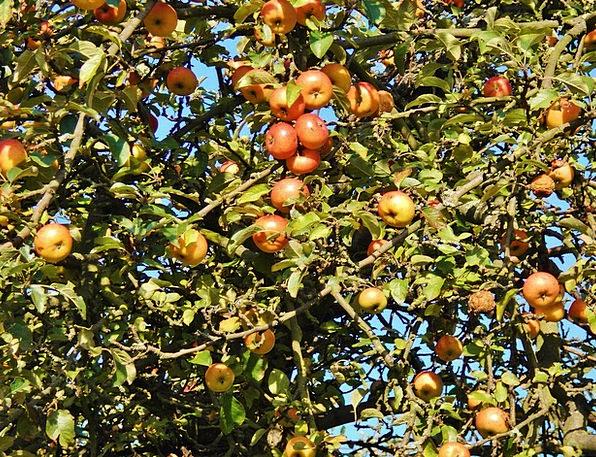 Apple Tree Drink Food October Apfelernte Fruit Ova