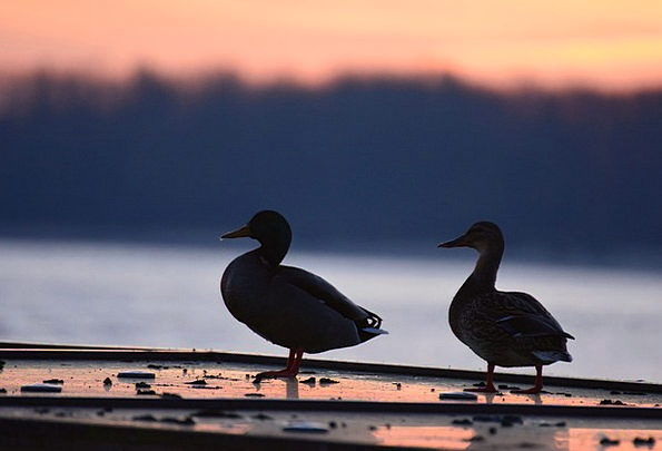 Ducks Dears Vacation Warmth Travel Sunset Sundown