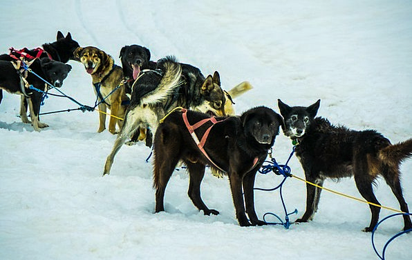 Sled Dogs Dog Sled Alaska Sled Bobsled Dogsled Dog