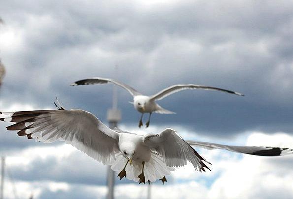 Seagull Fowl Birds Natures Bird Animal Fauna Wildl