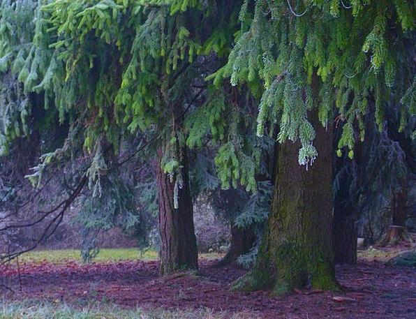 Firs Hoarfrost Frost Fir Forest Idyll Nirvana Myst