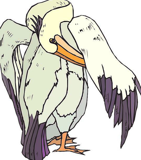 Pelican Preening Grooming Seabird Free Vector Grap