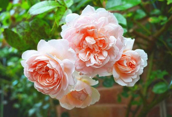Rose Design Flushed Large Big Pink Close-Up Florib