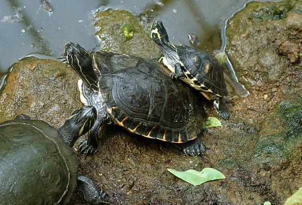 Animals Faunae Pond Pool Turtle Family Domestic Li