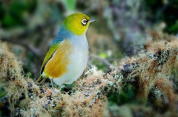 Wax Eye Fowl Fly Hover Bird Avian Wings Annexes Fr