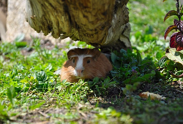 Guinea Pig Pet Domesticated Young Animal Nager