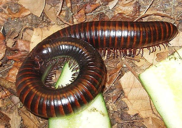 Millipedes Centipedes Myriapoda Fauna Arthropod Ri