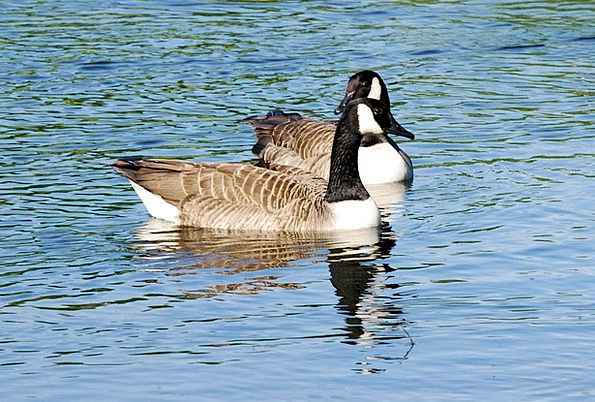 Canada Geese Swimming Spinning Branta Canadensis W