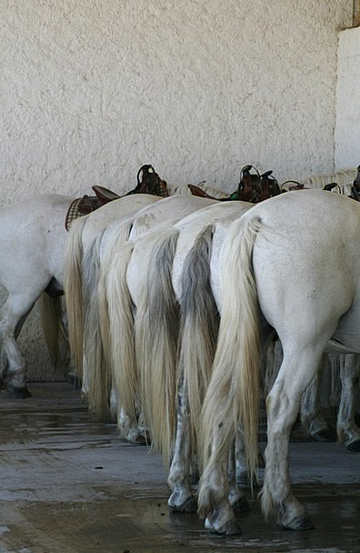 Horses Cattle Camargue France