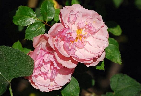 Roses Designs Flushed Flower Floret Pink Beautiful