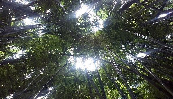 Bamboo Forest Landscapes Nature Hawaii Maui Jungle