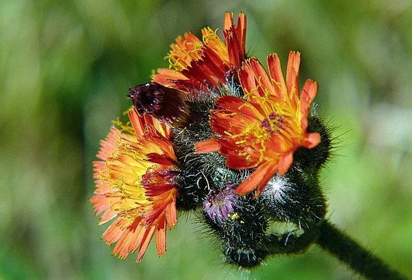 Orange Hawkweed Landscapes Nature Wild Flower Oran
