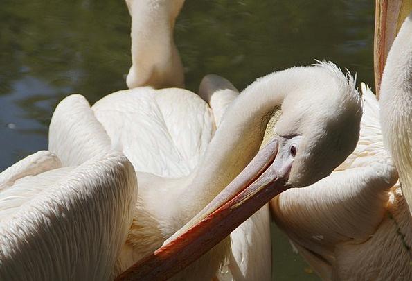 Pelikan Down Clean Spotless Plumage Bill Beak