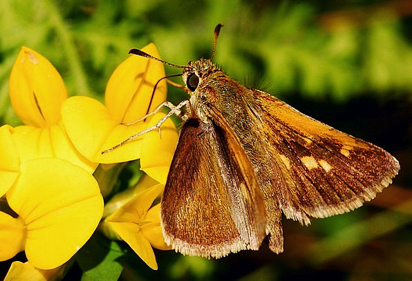 Butterfly Captain Macro Instruction Skipper Bug In