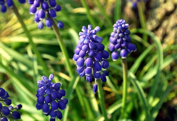 Grape Hyacinth Blue Azure Flowers Plants Bell Chur