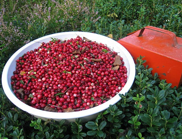 Lingon Berry Pickers Rice Mixing Bowl Bowl Autumn