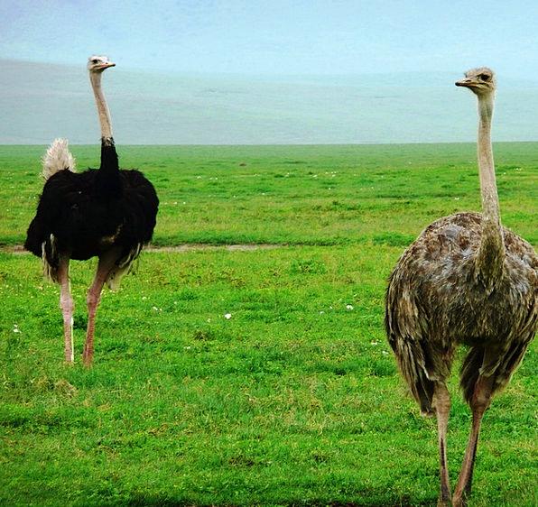 Ostriches Natures Fauna Wildlife Birds Africa Tanz
