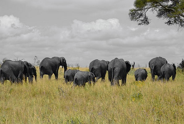 Elephants Monsters Landscapes Nature Africa Tanzan