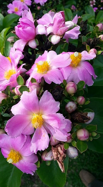 Pereskia Landscapes Nature Flower Floret Cactus Th