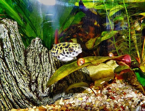 Puffer Fish Poisonous Aquarium Toxic Fish Angle Wa
