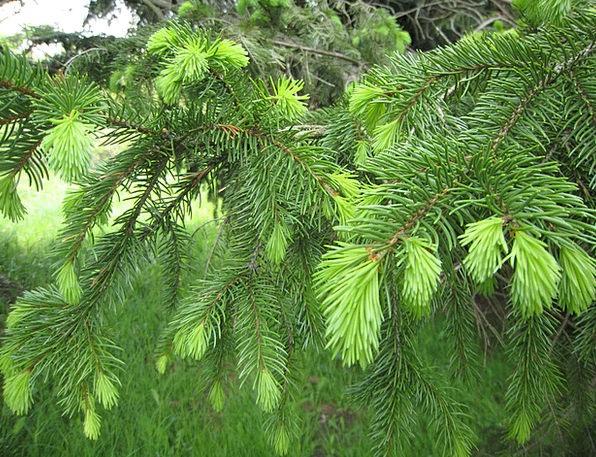 Pine Long Sapling Spring Coil Tree New Novel Growt