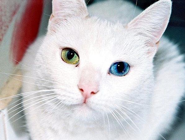 Cat Judgments Odd Strange Eyes Eye-Catching Differ
