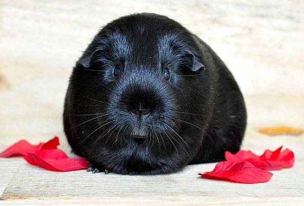 Guinea Pig Black Dark Smooth Hair Rodent Cute Anim