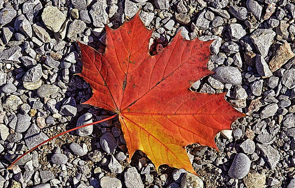 Maple Landscapes Foliage Nature Colorful Interesti