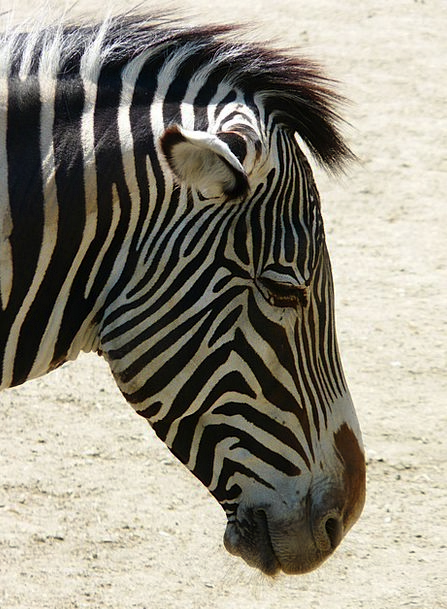 Plains Zebra Perissodactyla Zebra Head Animal Phys