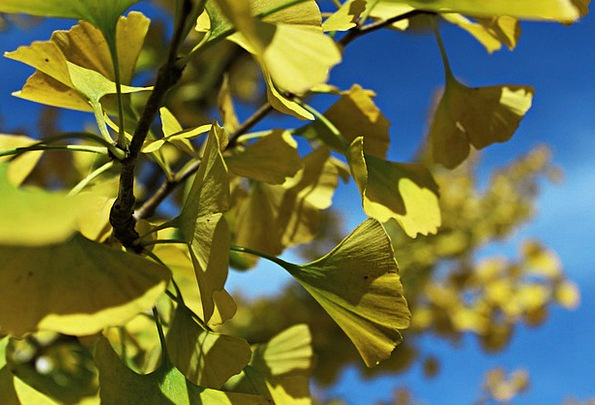 Ginko Landscapes Greeneries Nature Ginko Tree Leav
