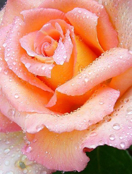Rose Design Flushed Macro Instruction Pink Raindro