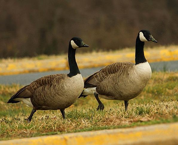 Canada Geese Branta Canadensis Goose Geese Waterfo