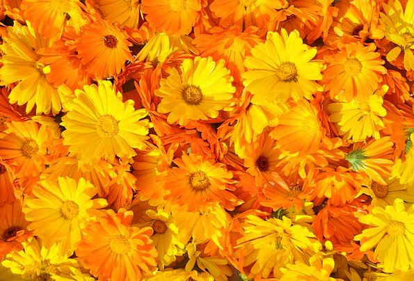 Marigold Landscapes Nature Summer Flower Calendula