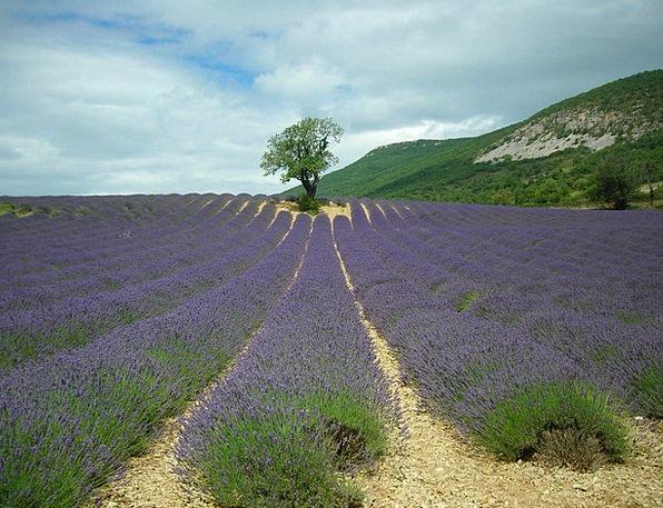 Lavender Violet Sapling Plants Florae Tree