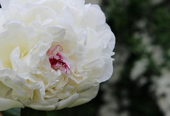 Peony Landscapes Snowy Nature Flower Floret White